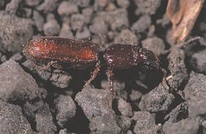 Slender seedcorn beetle