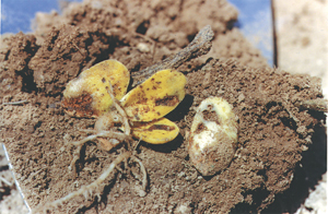 Damaged seeds in soil