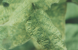 Spider mite leaf damage