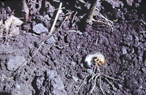 Grub at base of damaged plant