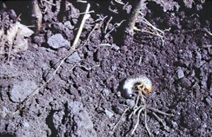 Grub at base of damaged plant