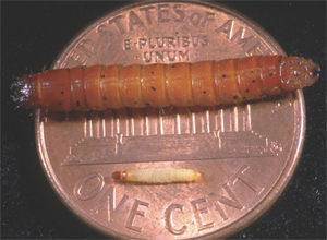 Newly-hatched and late-instar larvae