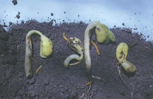Wireworms and damaged plants