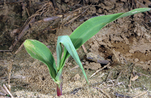 Corn plant with dead heart