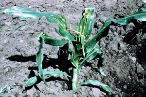 Stalk Borer damage