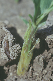 Larva in silken tunnel next to damaged plant