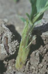 Larva in silken tunnel next to damaged plant