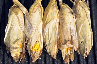 Damaged ear tips and holes in the husks at harvest are indicators of larval entry and/or emergence.