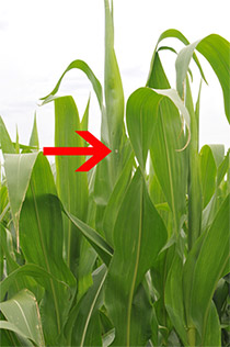 Arrow pointing to the egg mass location of this soon to be tasseling plant.
