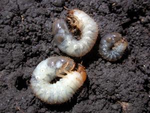 Larvae (grubs)