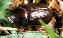 May/June beetle