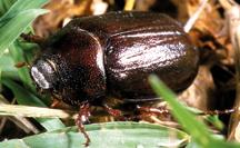 May/June beetle