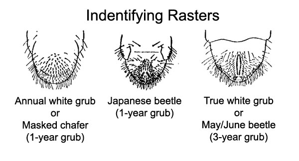 Rasters of different grubs