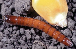 Larva (wireworm)