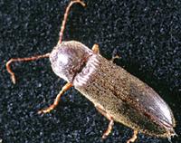 FAdult (click beetle)