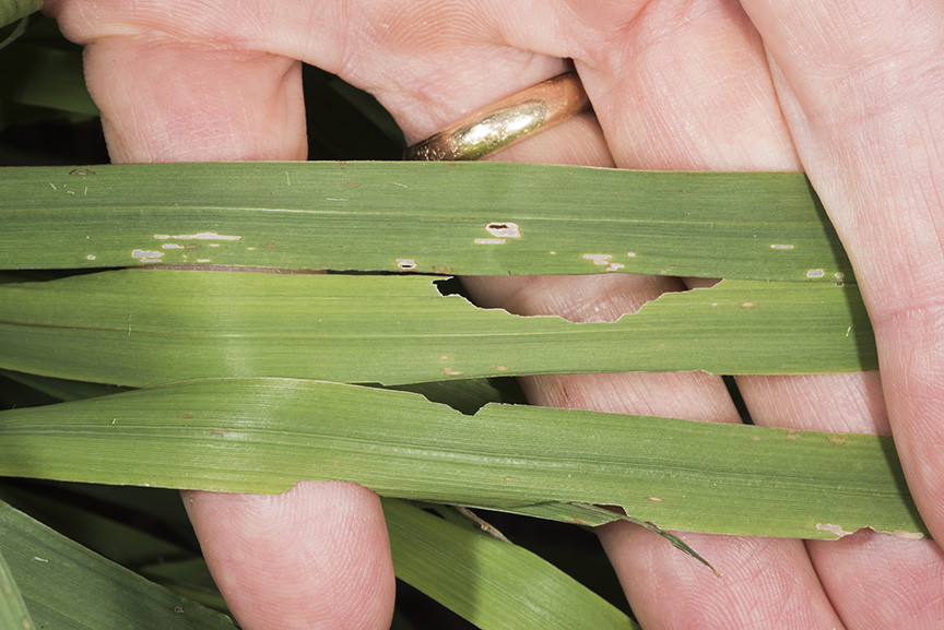 Forage grass damaged by small armyworm, ranges from leaf scraping to marginal leaf notches.
