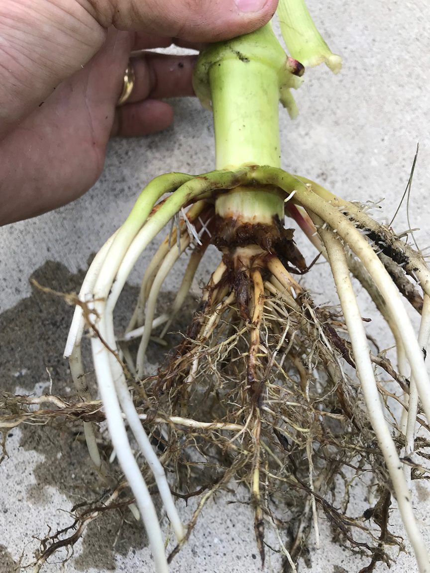 Root feeding damage by corn rootworm. (Photo Credit: Marty Park).