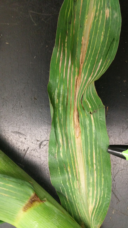 Figure 4. Fomesafen carryover onto corn. Veinal necrosis and chlorosis appear on corn leaves. Severe carryover will result in buggy-whipping of corn plants.