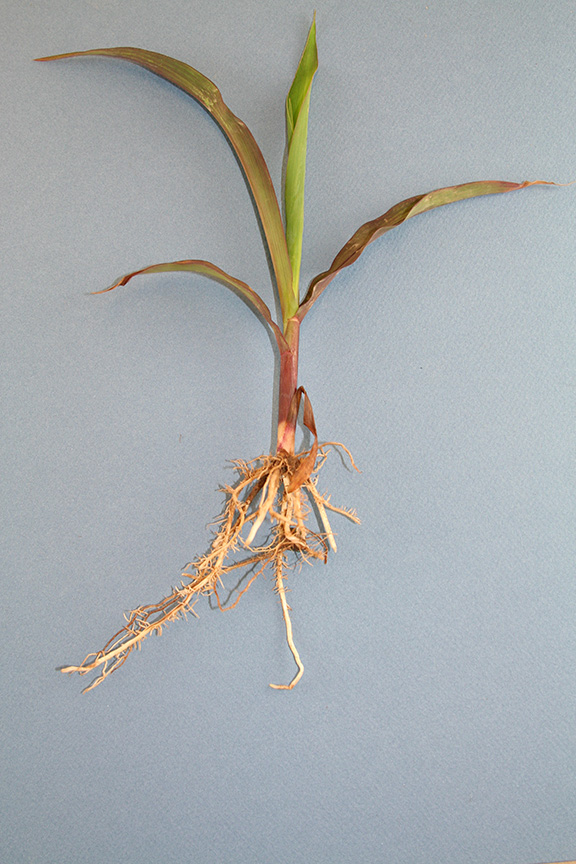 Figure 6. Imazethapyr carryover onto corn. Corn plants will be stunted, with discoloration of leaves. Leaves can appear yellow, purple, or red. Midvein is often purple or red. Roots will show bottle-brush symptoms.