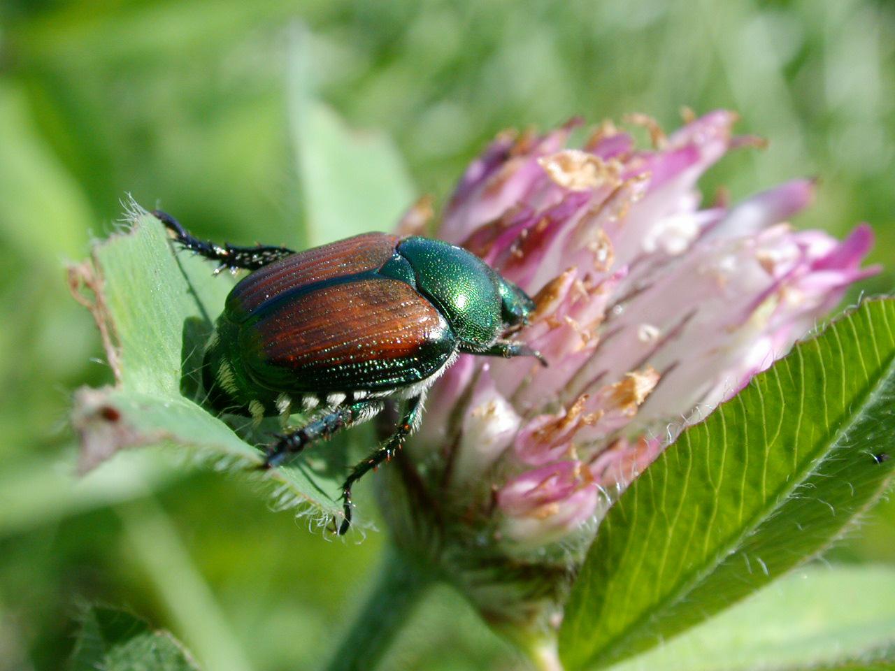Japanese beetle season returns.