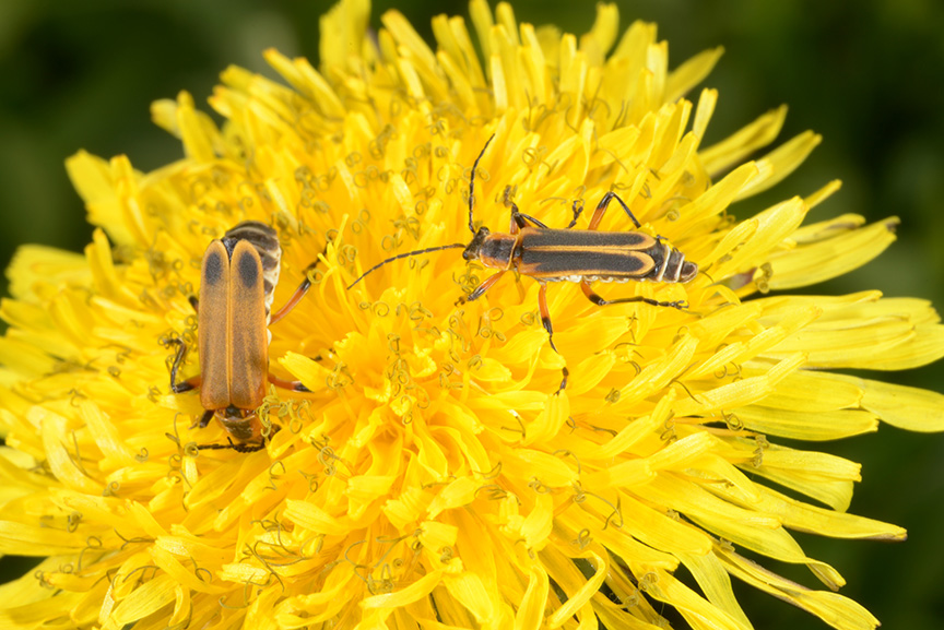 Soldier beetles feeding on dandelion pollen.