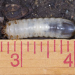 "Green June Beetle grub ""walking"" on its back"