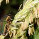 Green June Beetle on sweet corn tassel