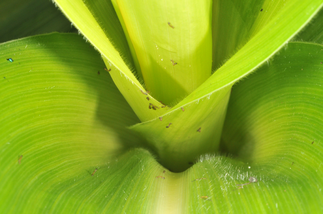 Newly hatched larvae immediately crawl into the whorl of pre-tassel corn for protection.