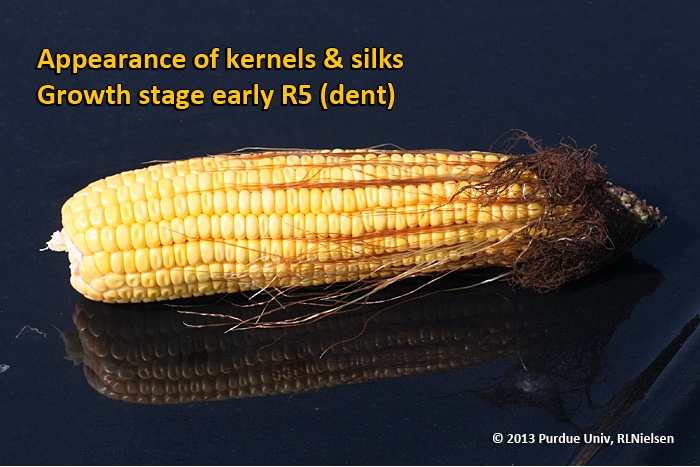 Appearance of kernels and silks. Growth stage early R5 (dent).