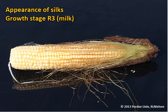 Appearance of silks. Growth stage R3 (milk).
