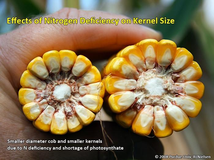 Effects of Nitrogen deficiency on kernel size.