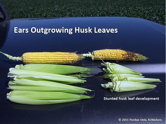 Ears outgrowing husk leaves.