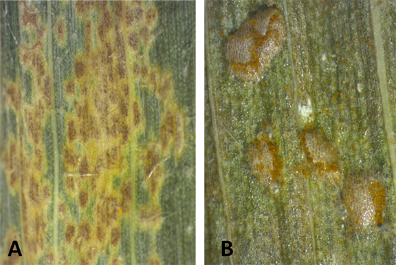 Figure 2. A - Physoderma brown spot are smooth and flat on leaf surface vs. B - southern corn rust pustules rupturing on leaf surface. (Source: PPDL)