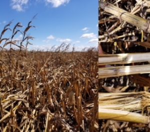 Figure 1. Severe lodging after a rainstorm many stalks with symptoms of Anthracnose stalk rot.