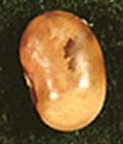 Anthracnose seed