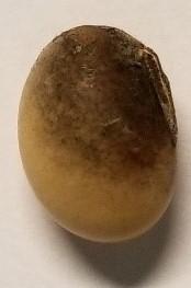 Frogeye seed