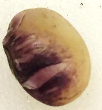 Purple seed strain seed