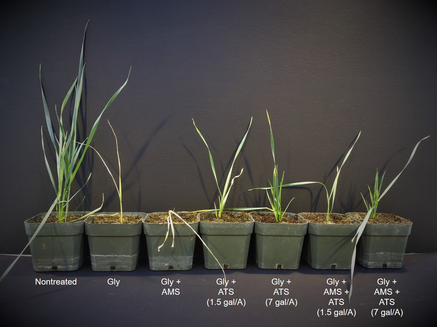Effect of ammonium thiosulfate (ATS) on glyphosate activity on wheat 11 days after treatment