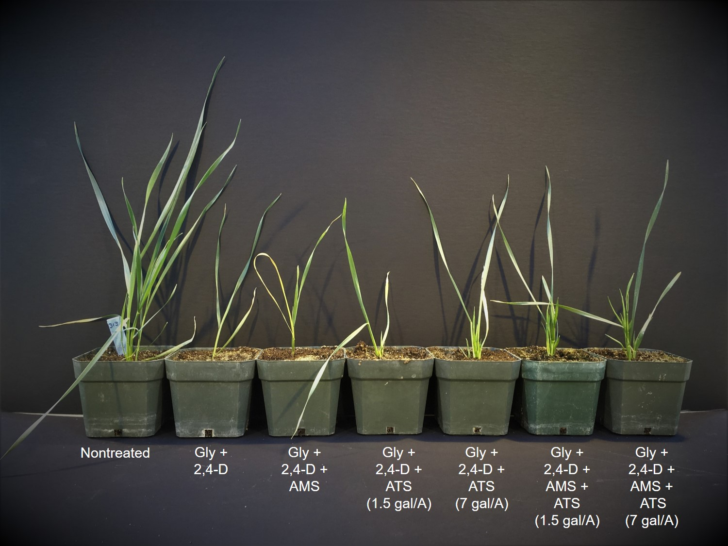 Figure 2. Effect of ammonium thiosulfate (ATS) on glyphosate activity on wheat 11 days after treatment.