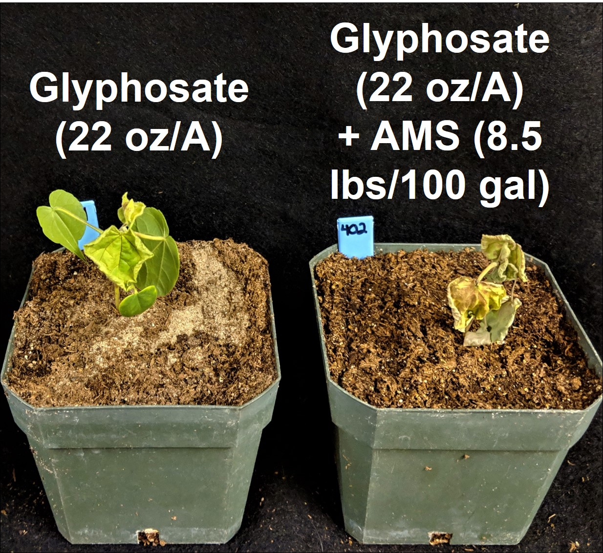 Figure 4. Effect of Ammonium Sulfate (AMS) on velvetleaf control with glyphosate in the greenhouse.