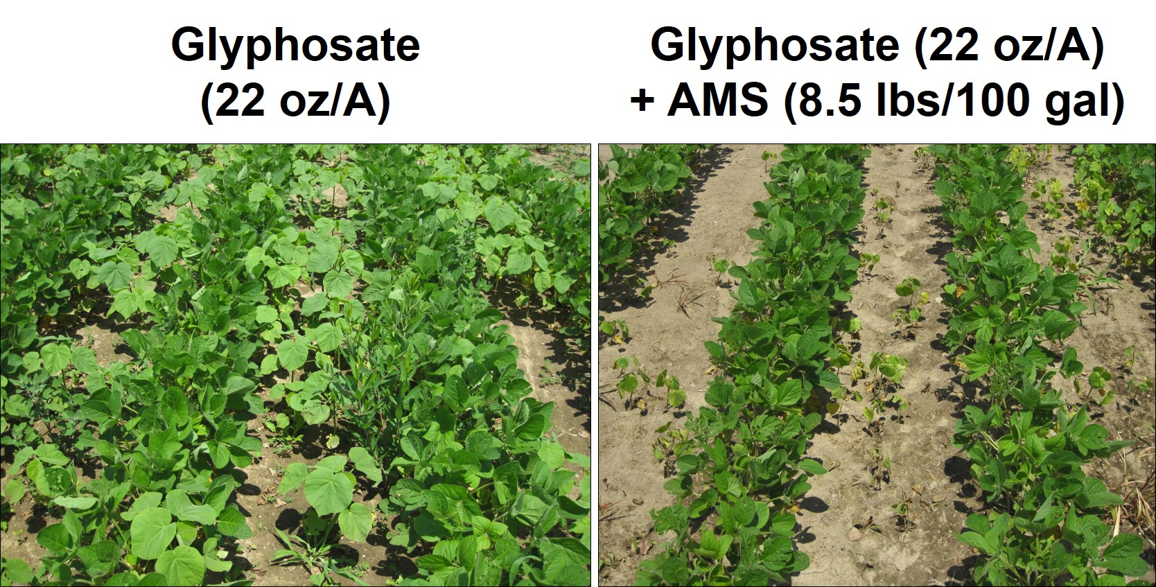 Figure 5. Effect of Ammonium Sulfate (AMS) on velvetleaf control with glyphosate in the field.