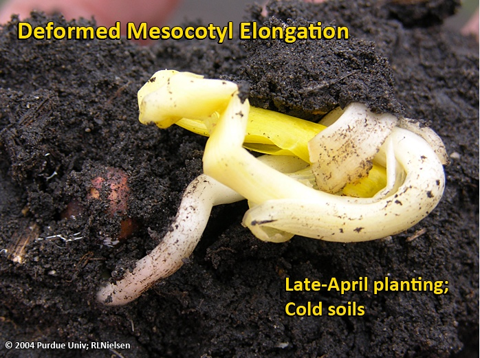 Deformed mesocotyl elongation caused primarily by cold soil temperatures.