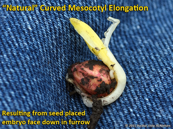 Natural curved elongation of the mesocotyl due to seed placed embryo face down in the furrow.