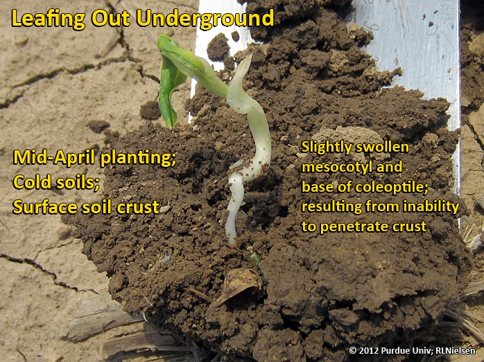 Leafing out underground; caused primarily by dense surface soil crust.