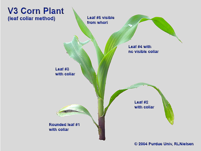 Young corn plant staged as V3 according to the collar method.