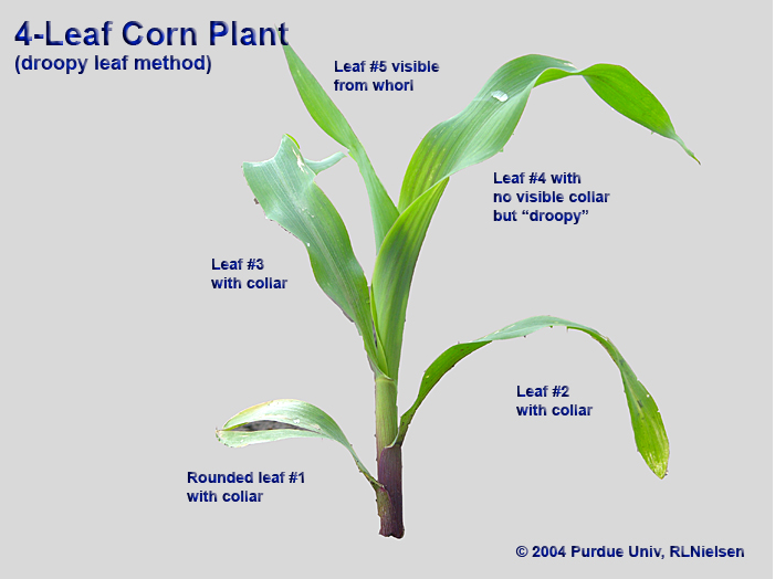 """Same plant, but staged as 4-leaf according to the """"droopy"""" method."""