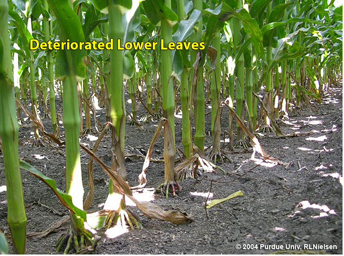 Typical deterioriation of lower leaves in older corn plants.