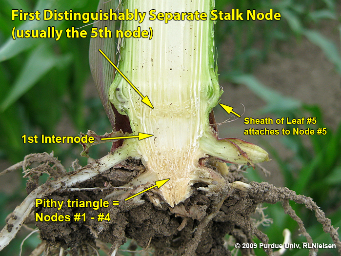 Split stalk illustrating the first distinguishable node above the pithy triangle.