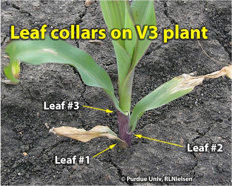 Closer view of leaf collars of damaged V3 seedling.