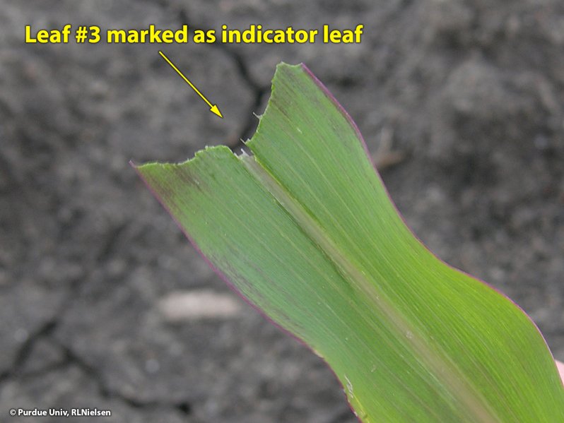 Leaf #3 marked by simply ripping off upper third of leaf.